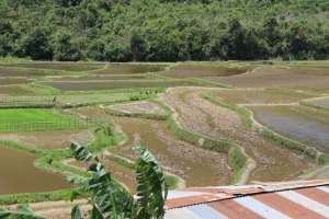 Growing rice near Sam Neua