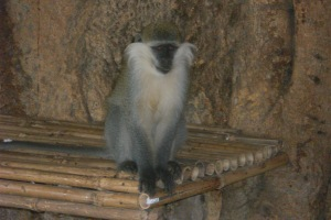 Ethiopian baboon